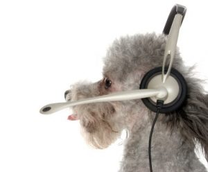 Got a problem?  Give Pepa a call.  :)  Very handsome silver toy poodle wearing headset.